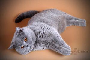 британский кот Cesare-of-Noble-Birth