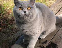 Британская короткошерстная и длинношерстная кошка, описание породы.