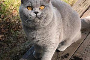 Британская короткошерстная и длинношерстная кошка, описание породы