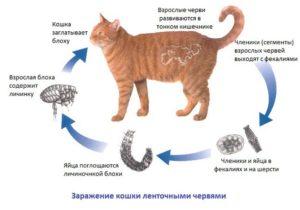 foto_glisty_koshka_lentochnye