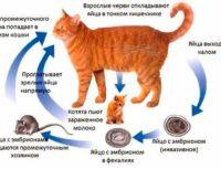 Какие прививки делать британским котятам, вакцинация британцев.