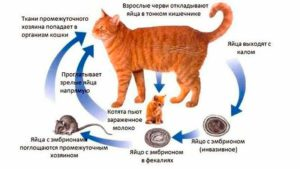 glisty_ot_kota_cheloveku_peredacha