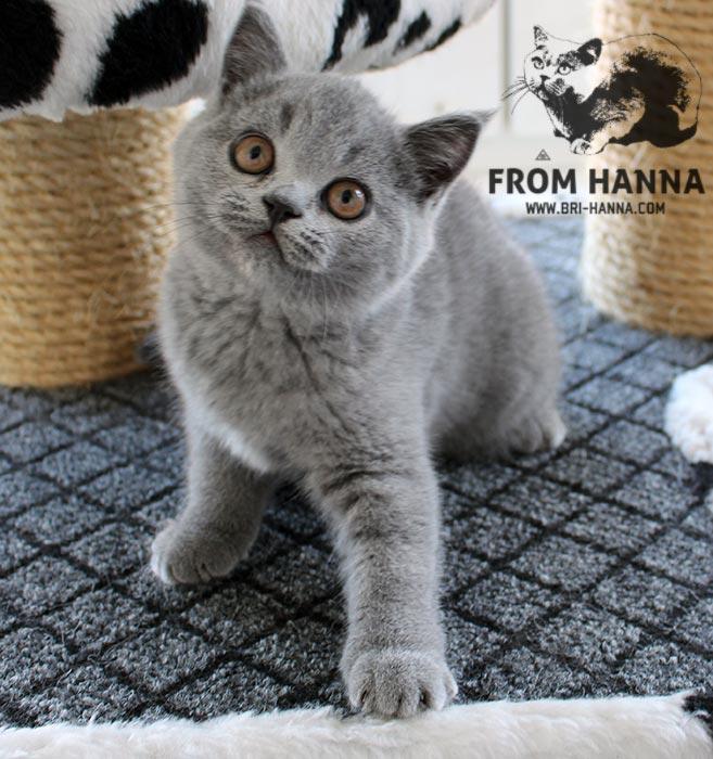luxury_alana_of_hanna_kitten
