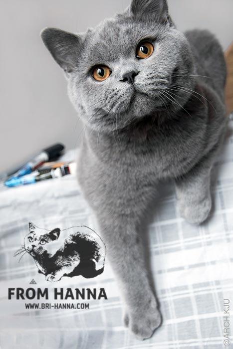 luxury_caesar_of_hanna_kitten