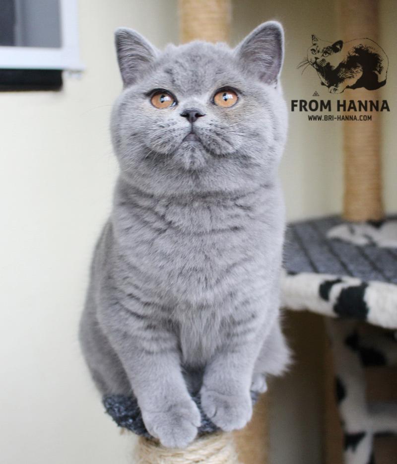 стандарт британской кошки голова, уши