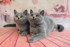 Продажа британских котят, правила