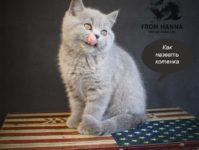 Как назвать британца: клички, имена для британских котов и кошек