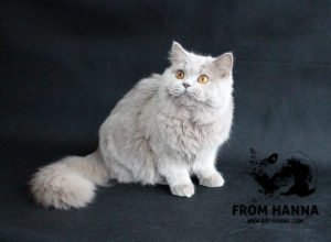 british-longhair-cat