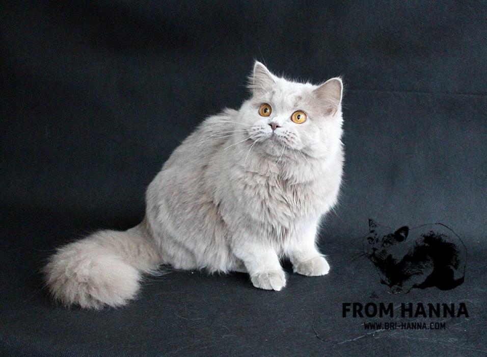 british-longhair-cat