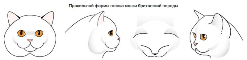 forma-golovy-british-koshki