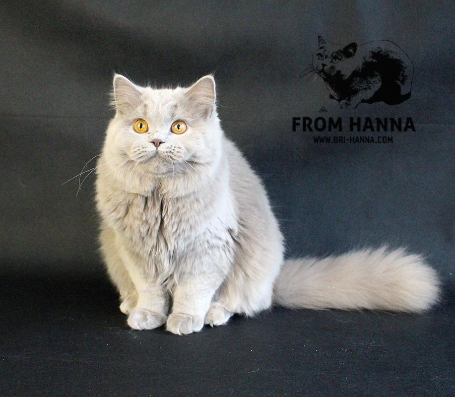 foto-british-longhair-cat