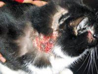 Диета в дерматологии кошек, вопрос — ответ