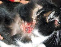Диета в дерматологии кошек, вопрос — ответ.