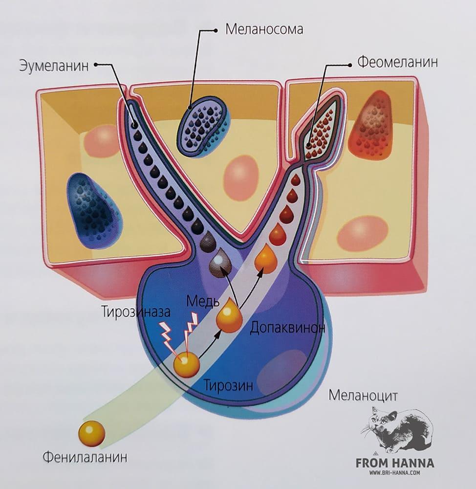 sintez-melanina-i-fenilalanina