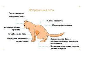 Диета при заболеваниях мочевого тракта кошек, вопрос – ответ.
