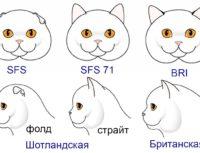Британская, скоттиш-страйт и вислоухая шотландская кошка, главные отличия. Как выбрать котёнка?
