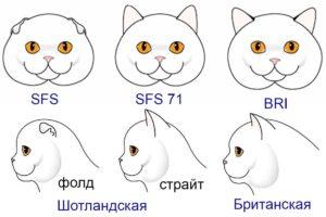 Британская, скоттиш-страйт и вислоухая шотландская кошка, главные отличия. Как выбрать котёнка