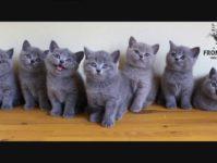 Британские котята видео