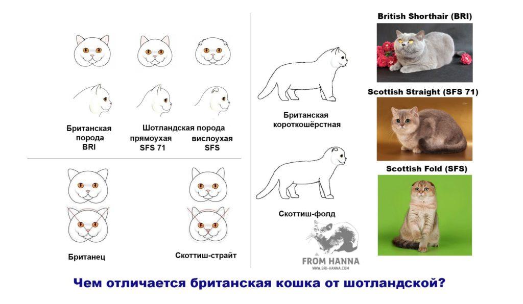 chem-otlichaetsja-britanskaja-koshka-ot-shotlandskoi-cat