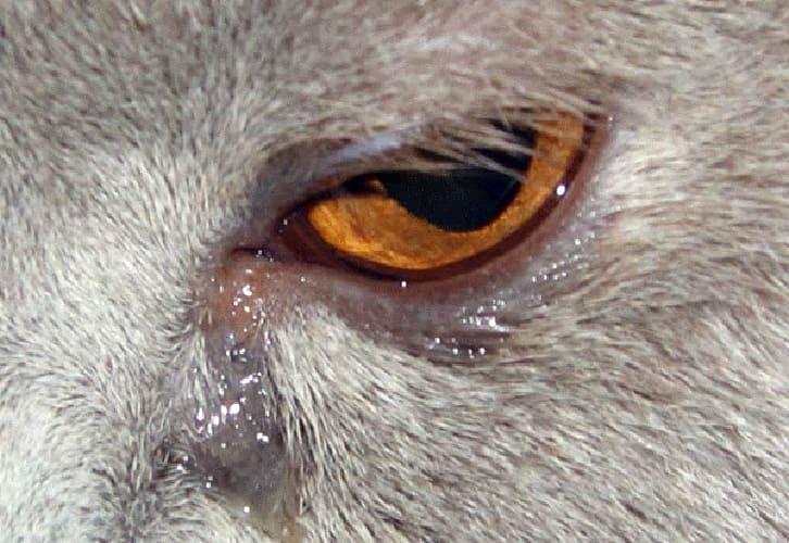 epifora-cat
