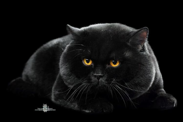 black-british-shorthair-cats