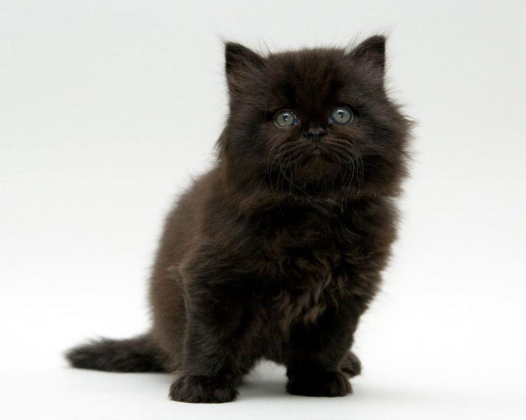 british-longhair-kitten-black