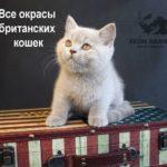 Коды и описание окрасов британских кошек с фото