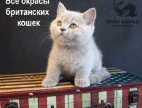 Коды и описание окрасов британских кошек с фото.