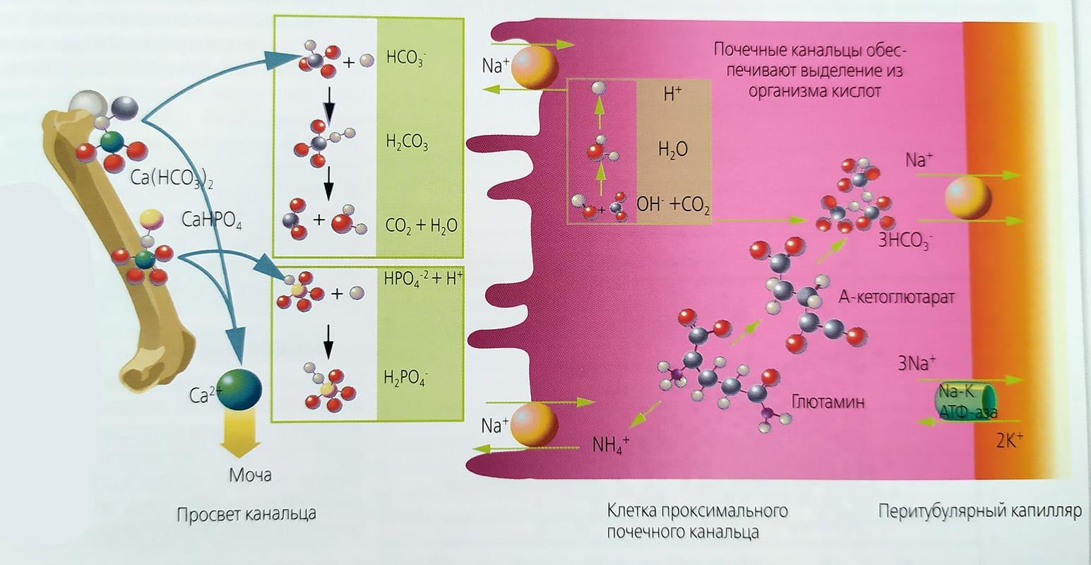 vlijanie-metabolicheskogo-asidoza-na-vydelenie-kalsija-s-mochoi