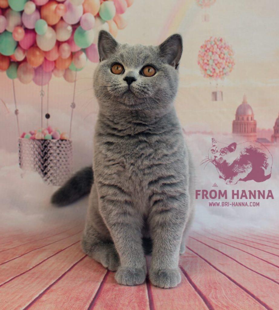 blue-color-british-cat