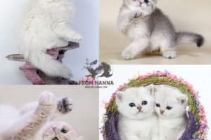 Британская кошка золотая и серебристая шиншилла, дымный окрас