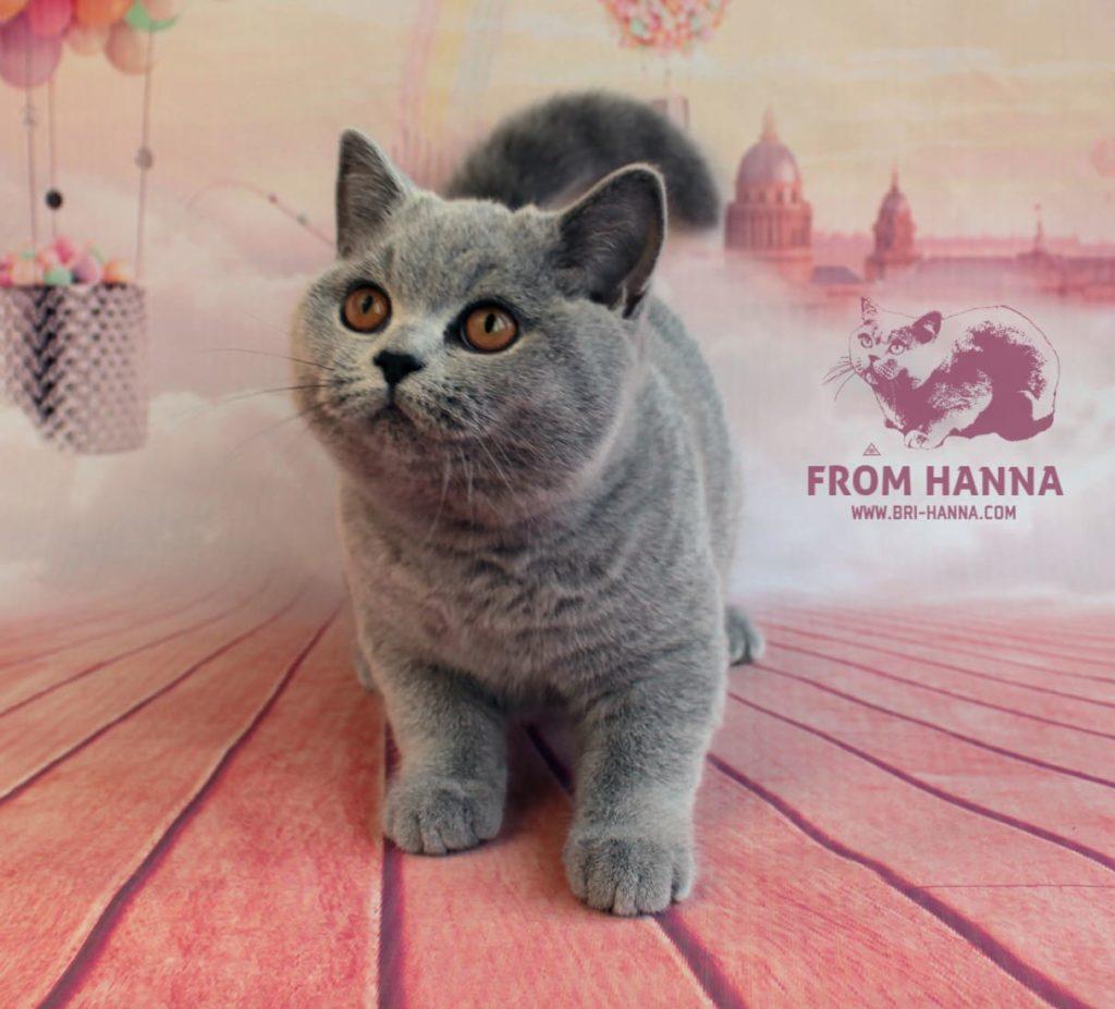 british-blue-cat