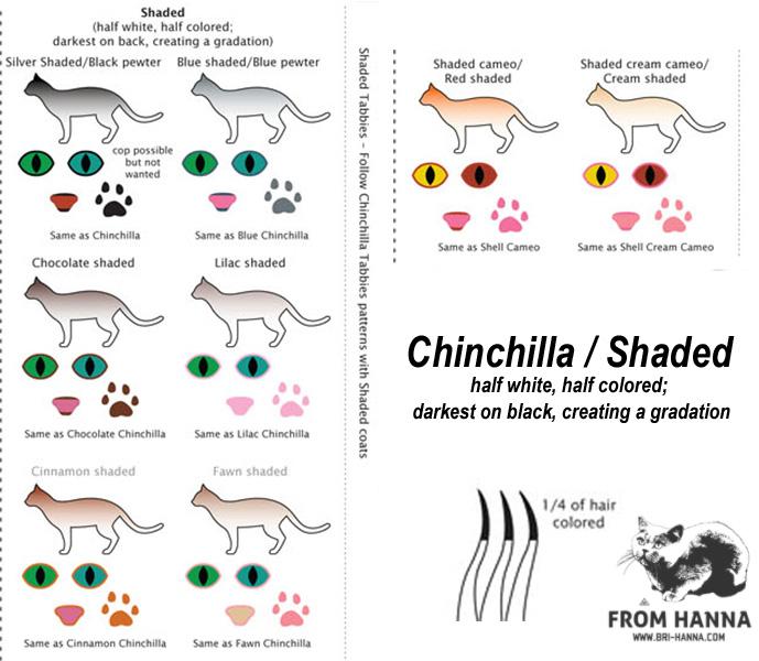 chinchilla-shaded-silver-bri
