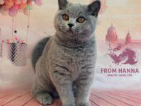 Британская голубая | серая кошка, стандарт, генетика окраса
