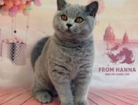 Британская голубая | серая кошка, стандарт, генетика окраса.