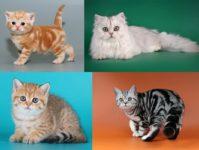 Окрас табби у британских кошек: полосатый, мраморный, пятнистый, тикированный