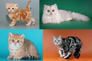 Окрас табби у британских кошек: полосатый, мраморный, пятнистый, тикированный.