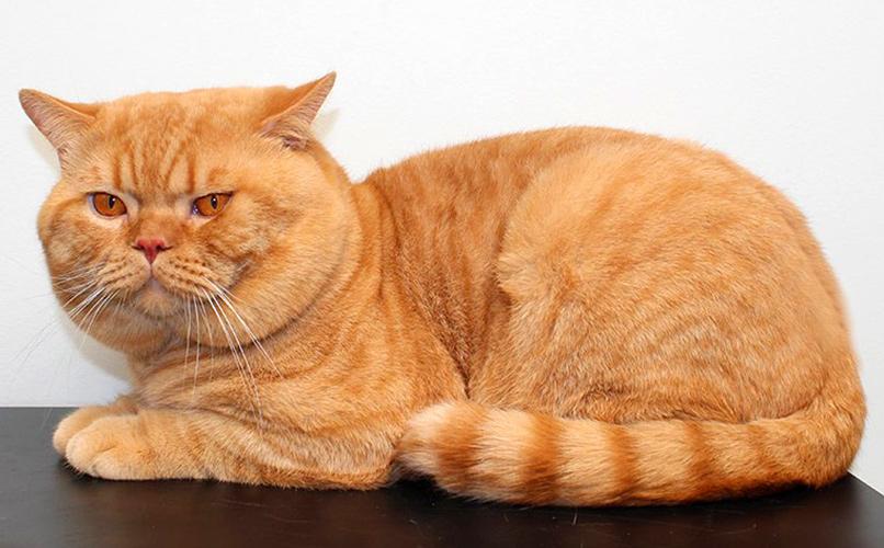 british-cat-color-d