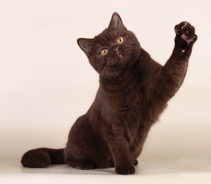 chocolate-bri-b-color-cat