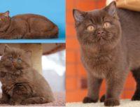 Окрасы британских кошек: шоколадный, циннамон