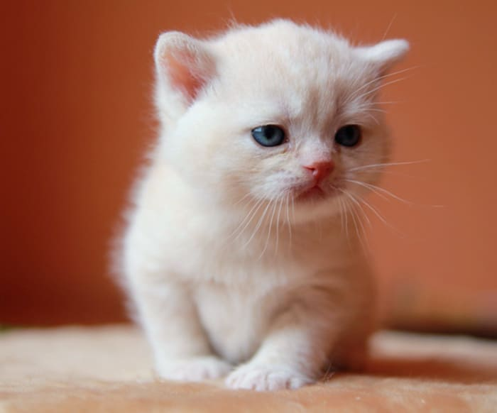 kitten-cream