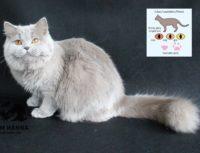 Лиловый окрас британской кошки.