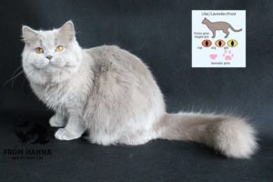 Лиловый окрас британской кошки
