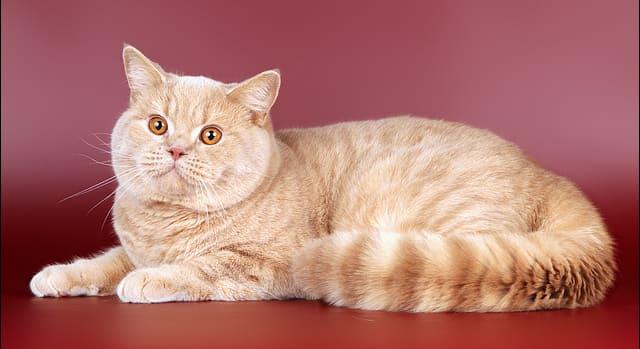 peach-cat