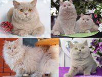 Фавн | бежевый окрас британских кошек: стандарт, генетика