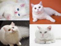 Белый окрас британских кошек — описание с фото, генетика