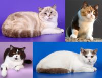 Окрас кошек с белым — ван, арлекин, биколор, триколор