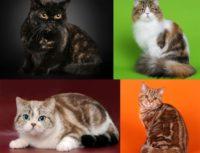 Черепаховый окрас кошек — виды с фото, описание, генетика