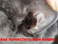 Уход за ушами кошки: чистка, обработка от ушного клеща