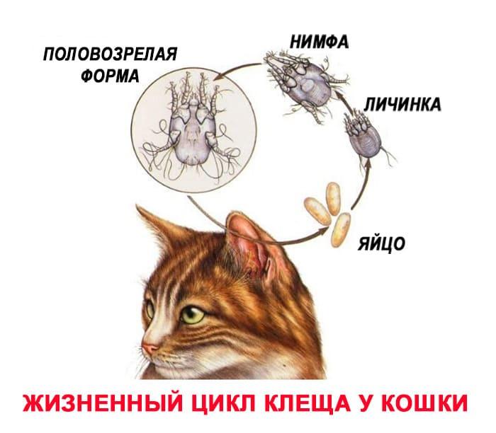 zhiznennyy-cikl-ushnogo-kleshcha-koshek